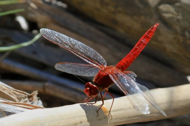 Small-Scarlet-Dragonfly